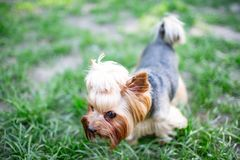 Portrait of male or female Yorkshire Terrier dog. Portrait of male or female Yorkshire Terrier dog on the grass Stock Photos