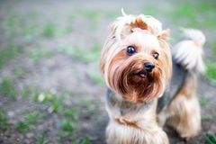 Portrait of male or female Yorkshire Terrier dog. Portrait of male or female Yorkshire Terrier dog on the grass Stock Photography