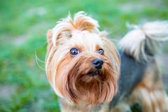 Portrait of male or female Yorkshire Terrier dog. Portrait of male or female Yorkshire Terrier dog on the grass Royalty Free Stock Images