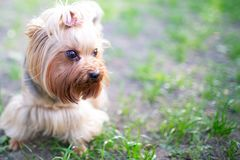 Portrait of male or female Yorkshire Terrier dog. Portrait of male or female Yorkshire Terrier dog on the grass Royalty Free Stock Photos