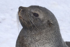 Portrait of a male fur seal Stock Photos