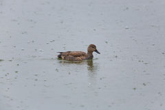 Portrait of male gadwall duck Anas strepera swimming in rain Royalty Free Stock Photography