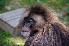 Portrait of a male gelada baboon Stock Photography