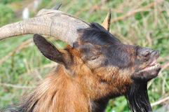 Portrait of a male goat Stock Image