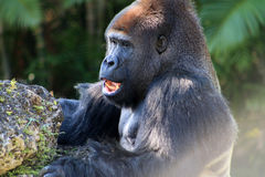 Portrait male gorilla and popcorn Stock Photography