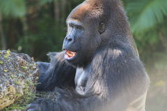 Portrait male gorilla and popcorn Royalty Free Stock Photo