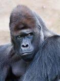Portrait of a male gorilla. Portrait of a western lowland Silverback Gorilla Royalty Free Stock Photography