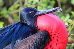 Portrait of male Great Frigatebird stock images