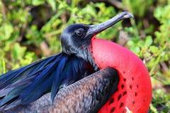 Portrait of male Great Frigatebird royalty free stock photos
