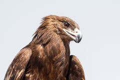 Portrait of a male great spotted eagle during a falconry show in Dubai, UAE. Male great spotted eagle Clanga clanga during a desert falconry flight show in Stock Photos