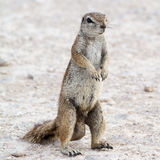 Portrait of a male Ground Squirrel royalty free stock photo
