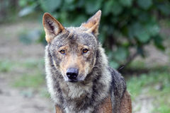 Portrait of a Male iberian wolf Royalty Free Stock Image