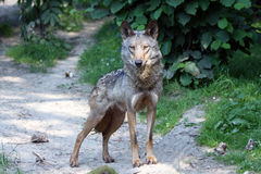 Portrait of a Male iberian wolf Stock Images