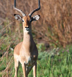 Portrait of male Impala Royalty Free Stock Photography