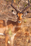 Portrait of a male Impala Antelope Stock Image