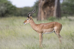Portrait of male impala antelope Stock Photos
