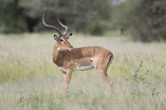 Portrait of male impala antelope Royalty Free Stock Image