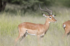 Portrait of male impala antelope Royalty Free Stock Photo