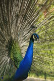 Portrait of male Indian Peafowl Stock Images