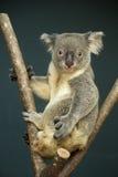 Portrait of male Koala bear Royalty Free Stock Photography