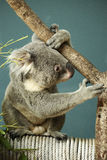 Portrait of male Koala bear sitting Royalty Free Stock Images