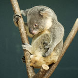 Portrait of male Koala bear sitting Stock Photo