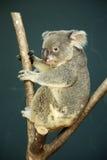 Portrait of male Koala bear Royalty Free Stock Images