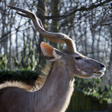 Portrait of a male kudu in winter Royalty Free Stock Images