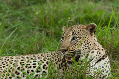A portrait of a male leopard Royalty Free Stock Photos