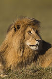 Portrait of a male lion Royalty Free Stock Image