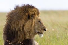 Portrait of a male lion. Portrait of a big male lion in Kenya Stock Photo