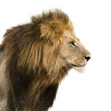 Portrait of a male lion. Big male lion isolated on white Royalty Free Stock Images