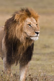 Portrait of a male lion Stock Image