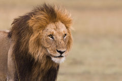 Portrait of a male lion. Portrait of a big male lion in Kenya Stock Image