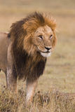 Portrait of a male lion Stock Photos