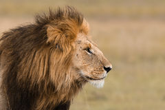 Portrait of a male lion. Portrait of a big male lion in Kenya Stock Photography