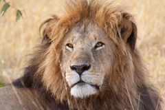 Portrait of a male lion Royalty Free Stock Photos