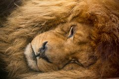 Portrait of a male lion resting. Royalty Free Stock Photography