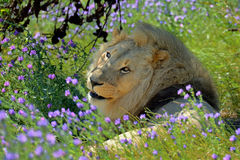 Portrait male lion and green grass with purple flowers Stock Photos