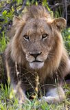 Portrait of a male lion in his natural habitat royalty free stock photography