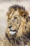 Portrait of a male lion in Kruger National park, South Africa Royalty Free Stock Photography