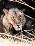 Portrait of male lion lying in the grass Stock Photos