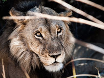 Portrait of male lion lying in the grass Royalty Free Stock Image