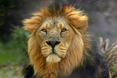 Portrait of a male lion (Panthera Leo). An adult male lion (Panthera leo) with his long mane Royalty Free Stock Photo