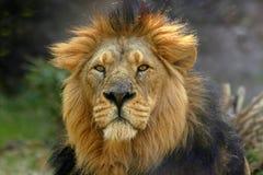 Portrait of a male lion (Panthera Leo). An adult male lion (Panthera leo) with his long mane royalty free stock photo