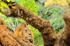 Portrait of male lion (Panthera leo) behind tree Royalty Free Stock Image