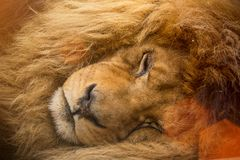 Portrait of a male lion resting. Royalty Free Stock Photos