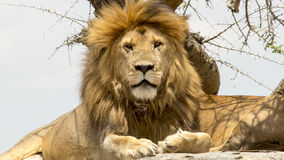 Portrait of male lion Royalty Free Stock Image