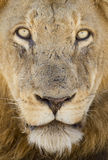 Portrait of a Male Lion, South Africa Stock Photography