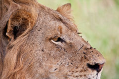 Portrait of male lion staring. While resting in the shade Royalty Free Stock Image